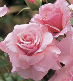 Flower: Pink Killarney Rose