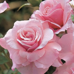 Flower: Pink Killarney Rose